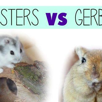 Hamster vs Gerbil vs Guinea Pig: Choosing a Pet to Live With